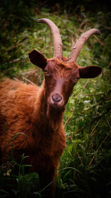 Val Codera Goat