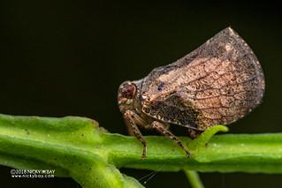 Planthopper (Cotylana sp.) - DSC_0671