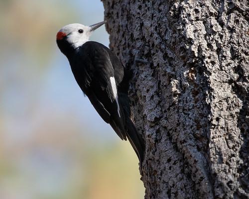 White-headed Woodpecker 1807