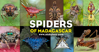 Spiders of Madagascar | by nickybay