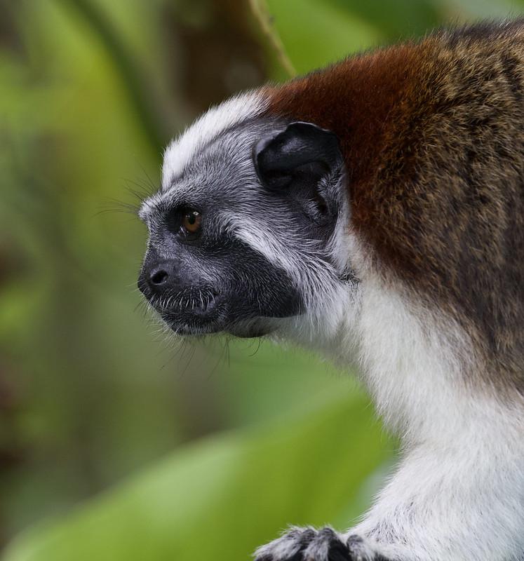 Geoffroy's Tamarin, Saguinus geoffroyi Ascanio_Panama 199A8302