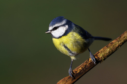 rspb sandy thelodge nature wild wildlife bird bluetit cyanistescaeruleus