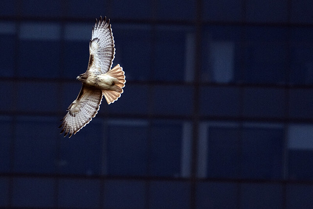 Central Park: Red-tailed Hawk Flying by Skyscrapers