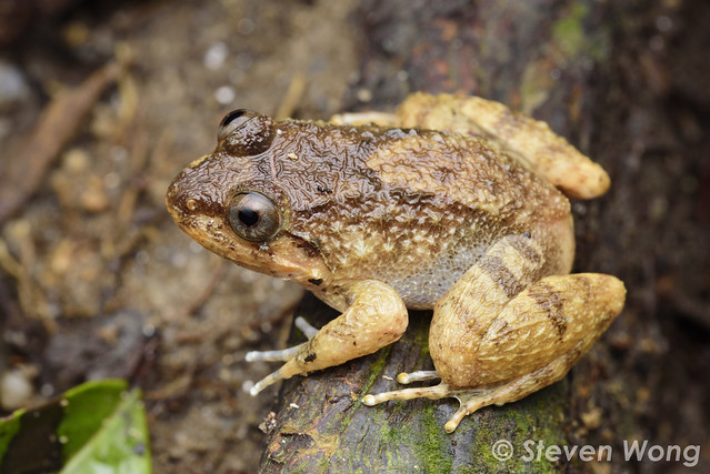 Corrugated Frog - Limnonectes deinodon