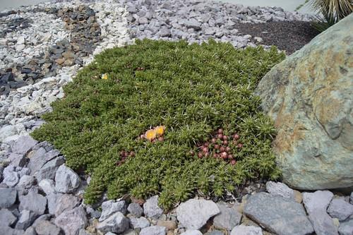Maihuenia patagonica 5.9.1 | by geodesert