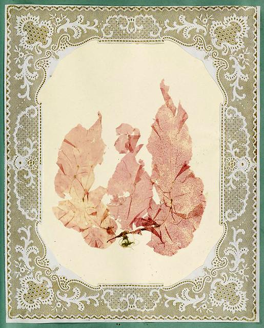 009-Album de algas marinas-1848- Brooklyn Museum Library