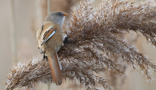 Bearded Reedling - Bearded Tit (Female) (Panurus biarmicus) (1)