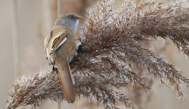 Bearded Reedling - Bearded Tit (Female) (Panurus biarmicus) (1)