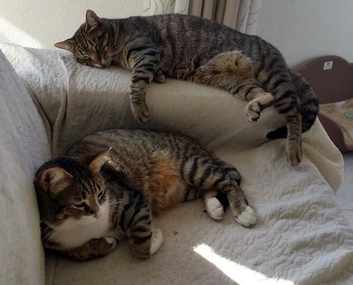 Cotton y Cobby, gatos pardo y blanquipardo inseparables, nacidos en Febrero´15, necesitan adopción Conjunta. Valencia. 32012844408_27c3d45767