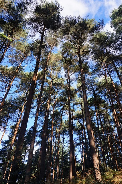 Pine trees by the South Downs Way 2