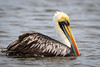 Peruvian Pelican by mathurinmalby