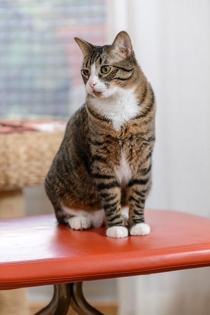 Efrén, gatito blanquipardo súper dulce positivo a inmuno nacido en Septiembre´17, en ADOPCIÓN ESPECIAL. Valencia. 45307867175_623053728b_z