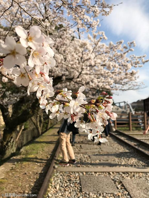 打工度假-京都生活-賞花、野餐-036