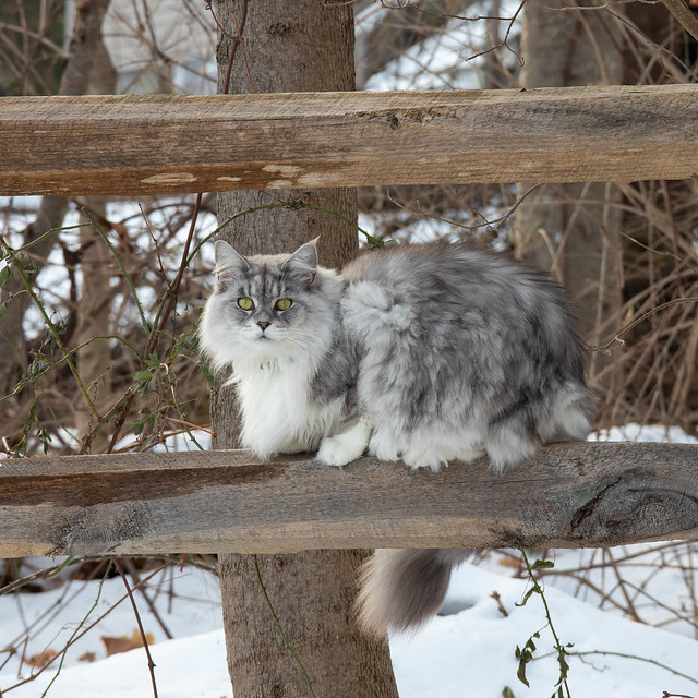Like a Cat on a Cold Wooden Fence