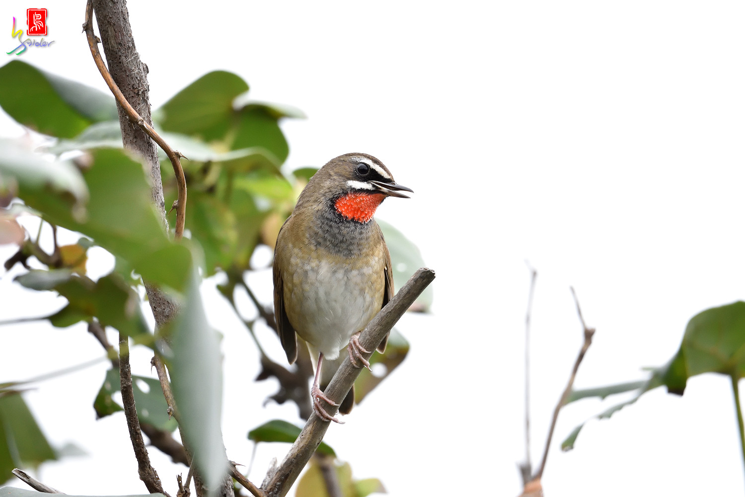 Rubythroat_6189