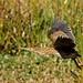 Flickr photo 'American Bittern (Botaurus lentiginosus)' by: Mary Keim.