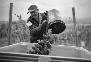 Harvest at Silvershot Vineyards | by jamesfischer