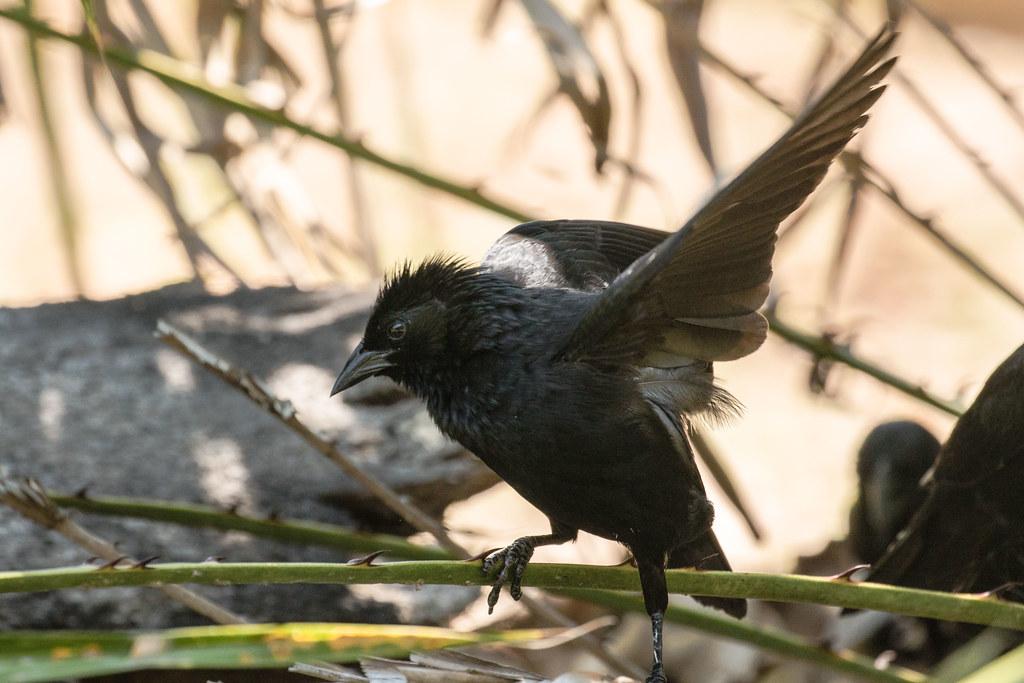 9K0A5453 Chopi Blackbird, Gnorimopsar chopi.