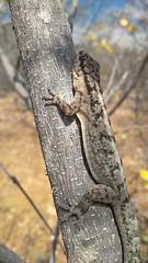 Pequeno lagarto