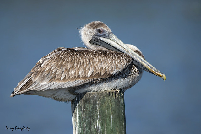 Pelican at rest!!.......D800