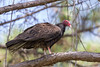 Turkey Vulture (Cathartes aura) by Ron Winkler nature