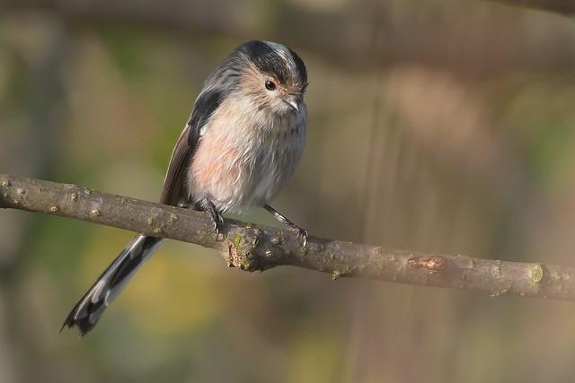 Codibugnolo\Aegithalos caudatus\Long tailed tit