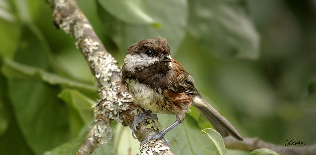 Chestnlut Backed Chickadee