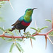 Sunbirds and Spiderhunters - Photo (c) Derek Keats, some rights reserved (CC BY)