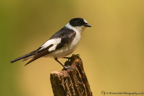 Collared Flycatcher (Male) | by Brian Calder