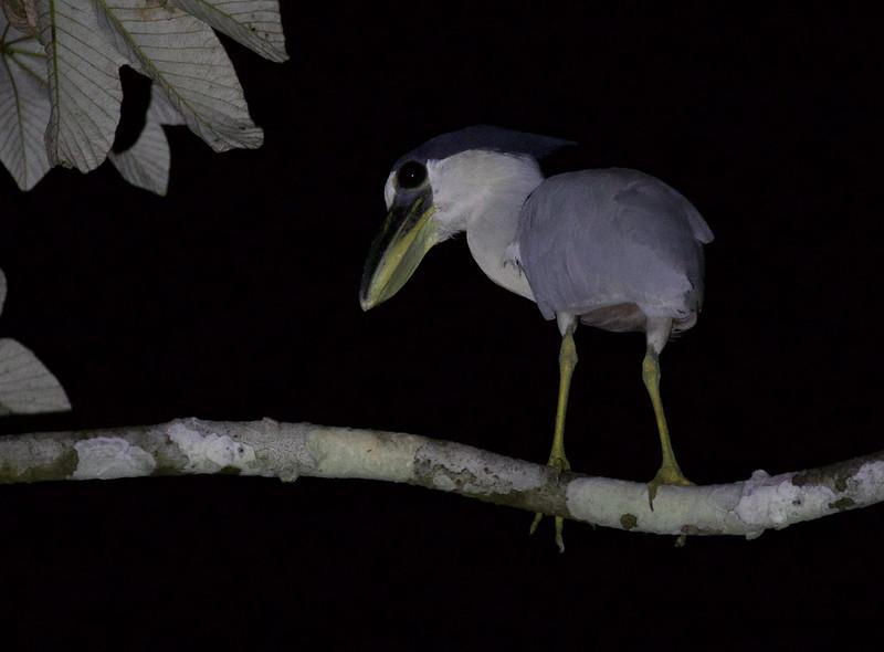 Boat-billed Heron. Cochlearius cochlearius Ascanio_Peruvian Amazon 199A6713