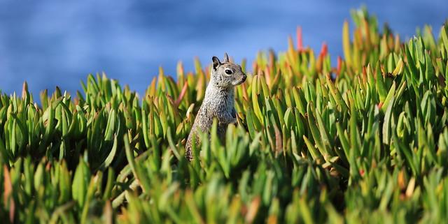 3474 California Ground Squirrel, Ellen Browning Scripps Park, La Jolla, CA