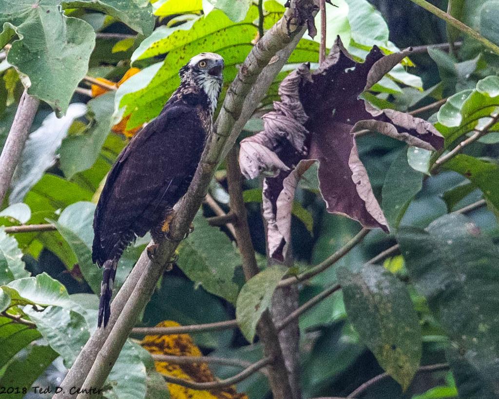 HAWK-EAGLE, Ornate