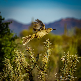 Bird taking flight from cactus