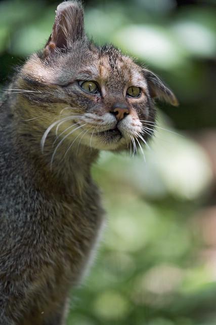 Wildcat shaking