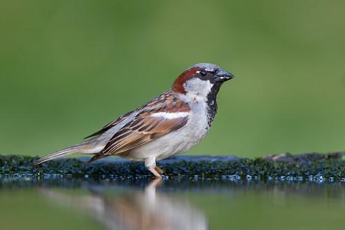 Pardal comum, macho - House Sparrow, male - Passer domesticus (Vila Nova de Famalicão, Portugal)