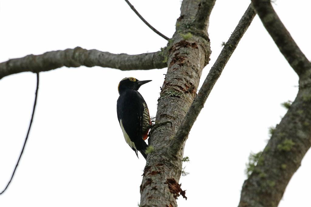 Yellow-tufted Woodpecker, Waqanki-Lodge, Moyobamba, Peru October 2018