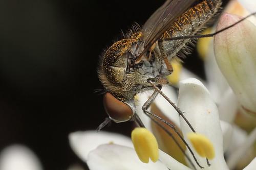 Bee fly - Geron sp.
