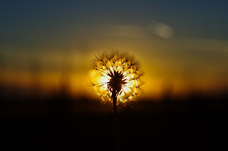 dandelion vs sunset | by pepperberryfarm