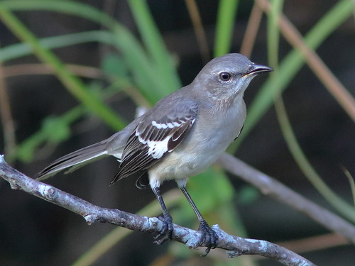 Northern Mockingbird 02-20181109