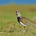 Southern lapwing - Vanneau téro - Tero común - Vanellus chilensis