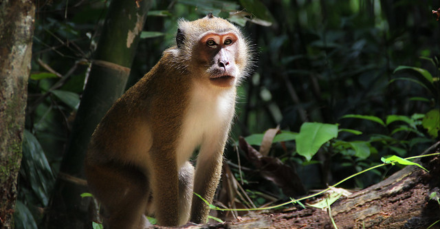 Long Tailed Macaque in the jungle of Khao Sok