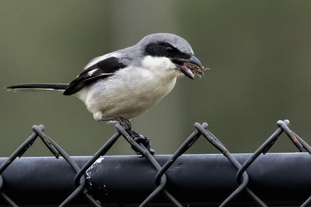 Markham Park: Loggerhead Shrike & Grub