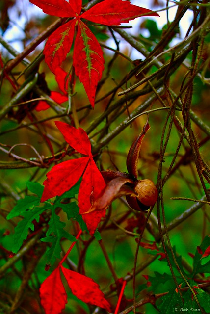 Red Leaves on Chain Link