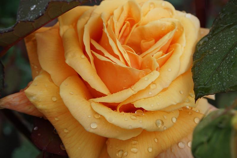 Обои капли, макро, роза, лепестки, бутон, жёлтая роза картинки на рабочий стол, раздел цветы - скачать