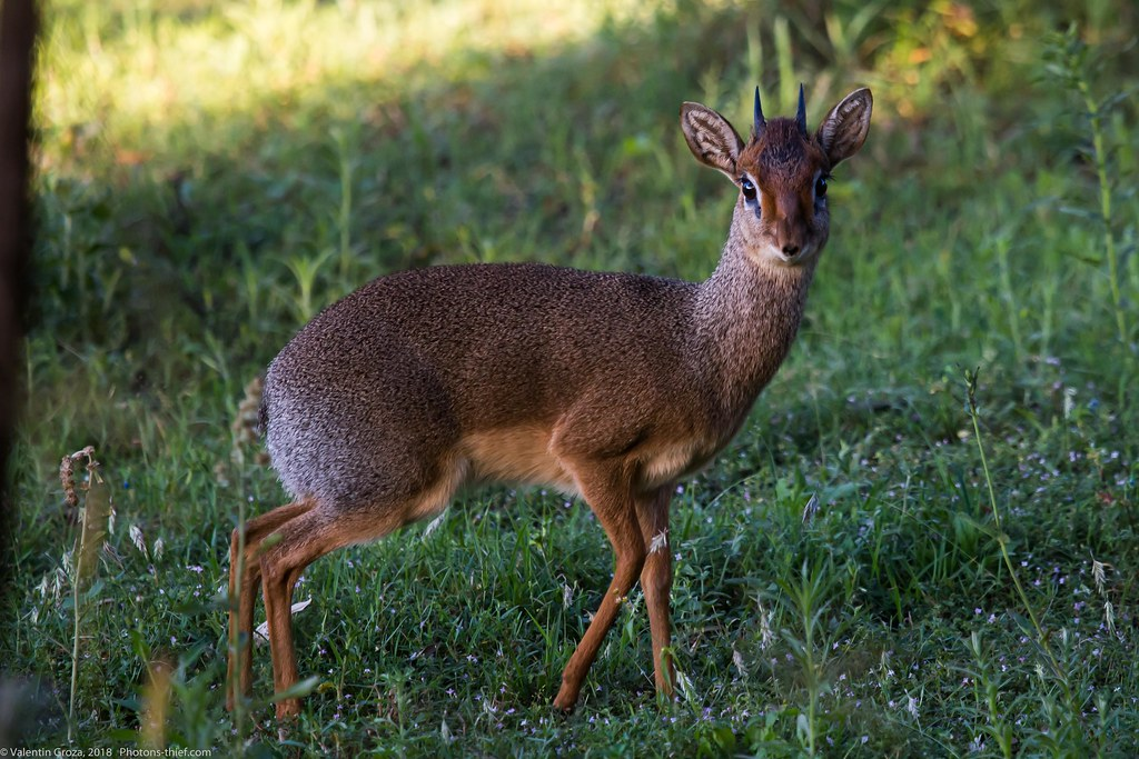 Lake_Naivasha_Kenya_sep18_12_dik dik