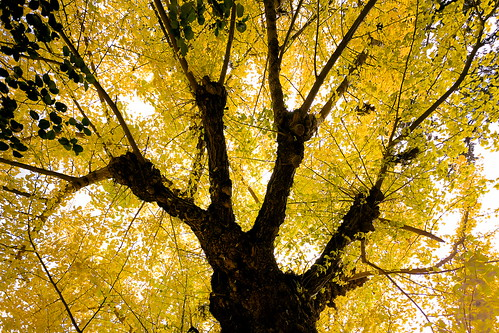 ginkgo | by slowhand7530