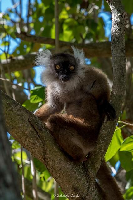 Eulemur macaco, Madagascar