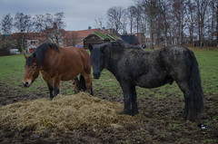 North Swedish horses