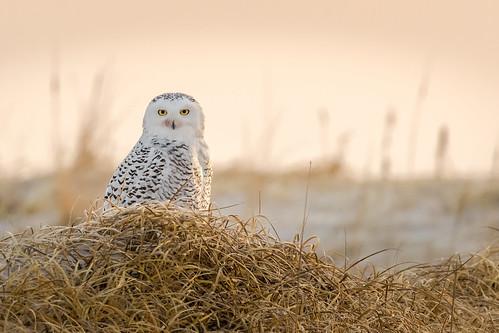 snowyowl owl sand dunes islandbeachstatepark ibsp newjersey winter bird birding birdwatching birds birdofprey sigma150600sport sigma shorebirds shorebird nature nikond500 nikon sunrise