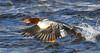 Common Merganser by Ceredig Roberts